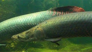 Arapaima - Biggest Fish Amazon - Aquarium Zoo Berlin