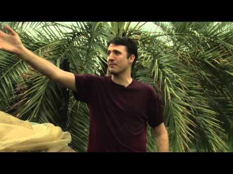 Inside look on how dates are harvested around Arizona