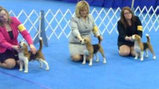 "13"" Beagle Bov At Kentuckiana Cluster Dog Show 2009"