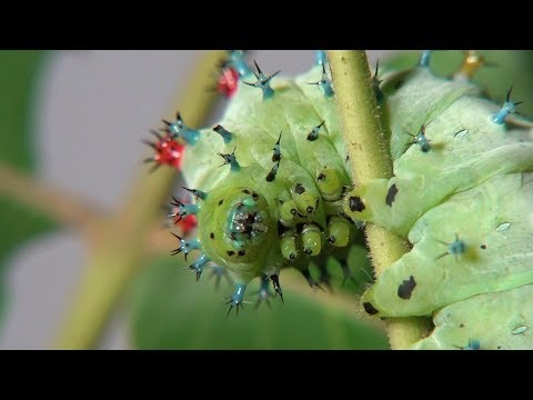 Cecropia Moth Caterpillars from egg to starting a cocoon