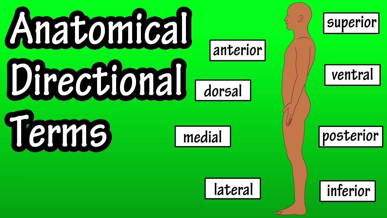 Anatomical Position And Directional Terms - Anatomical Terms ...