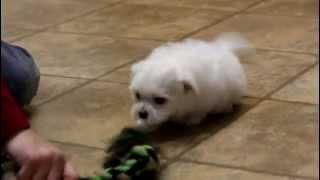 Toby.maltese.puppy.for.sale