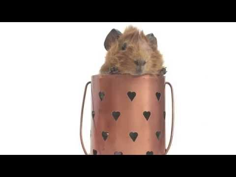 How To Do A Guinea Pig Photoshoot! | POP