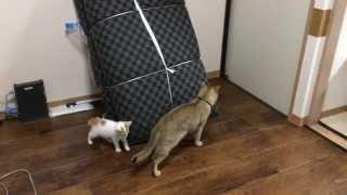 新入り子猫と鬼ごっこして背後を取られる先住猫(Tag of cat)