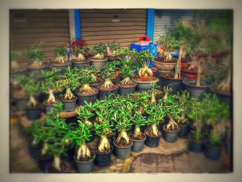 ร้านขายชวนชม ที่สวนจตุจักร (Adenium for sale at Jatujak market thailand )