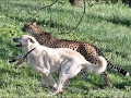 5 Dogs for Defending itself Against Wild Animals - Wolf, African Wild Dog, Baboon, Spotted Hyena [M