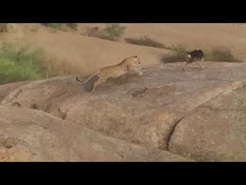 Leopard chases after a dog, dog fights back, dog escapes unhurt