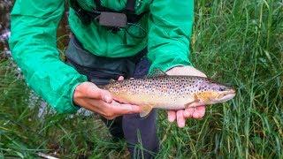 Ловля форелі в струмку. Рибки в плямочках. Видра з'їла всю рибу? / Trout fishing in the creek.