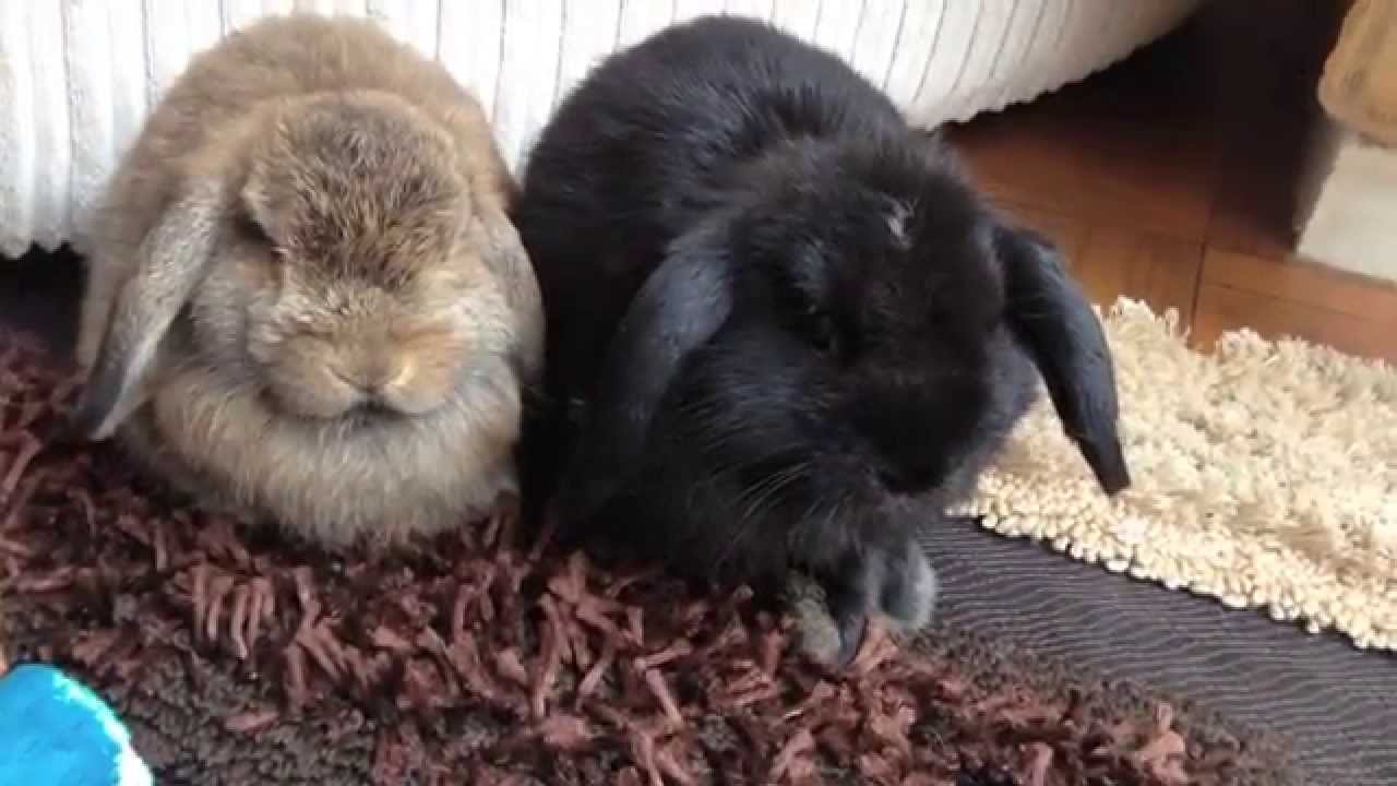 Discussion on this topic: How to Care for Mini Lop Rabbits, how-to-care-for-mini-lop-rabbits/