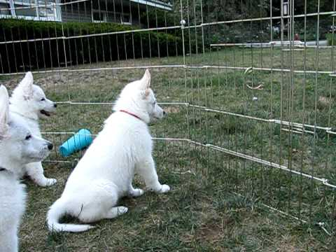 8 week white german shepherd puppies