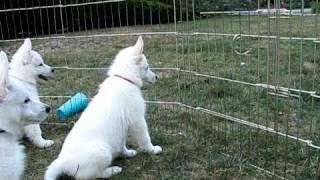 8 Week White German Shepherd Puppies
