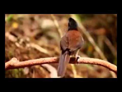 kicau burung surga di alam papua part 2 ....