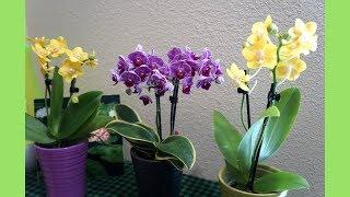 Orchid - Variegated Phal Sogo Vivien + 2 Fragrant Orchids | Orchid Haul at Trader Joe's