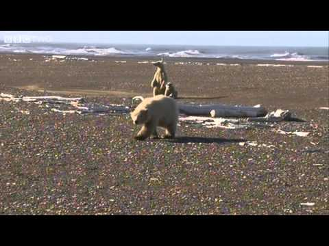 Close Encounter With A Wild Baby Polar Bear - Arctic with Bruce Parry, Alaska - BBC Two