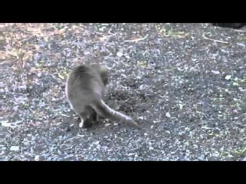 Кот ловит мышь)