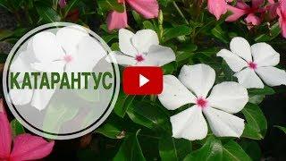 видео Катарантус (барвинок)