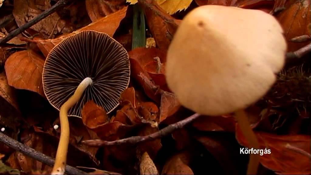 gombás hiperparaziták