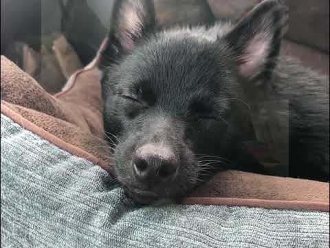 "Hairball Productions Presents ""The Sleepytime Schipperkes"""
