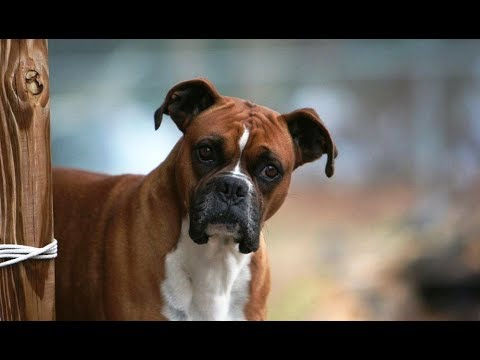 9 Funniest Boxer Videos [NEW]