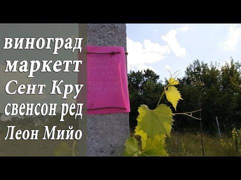 ВИНОГРАД МАРКЕТТ, СЕНТ КРУ, СВЕНСОН РЕД, ЛЕОН МИЙО выставляю вечные бирки на виноград!