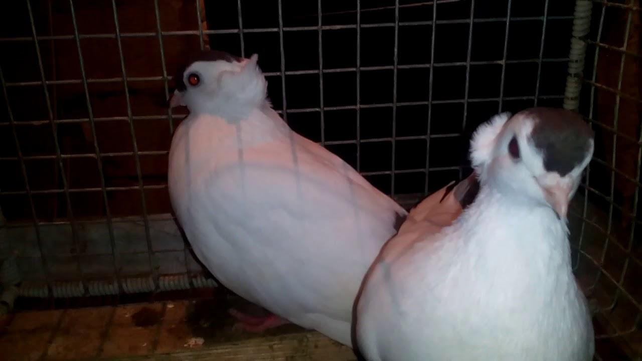 golubi-tuli-video