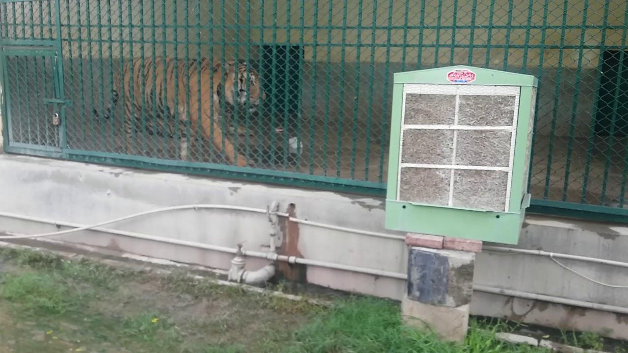 Safari Zoo park dangerous  Tiger at Safari Tiger area.