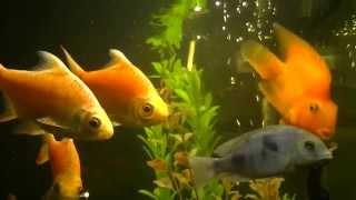 Золотые рыбки - загадай желание!