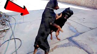 Cuando un Gran Doberman llevo ala escuela aun Poderoso Rottweiler en un enfrentamiento