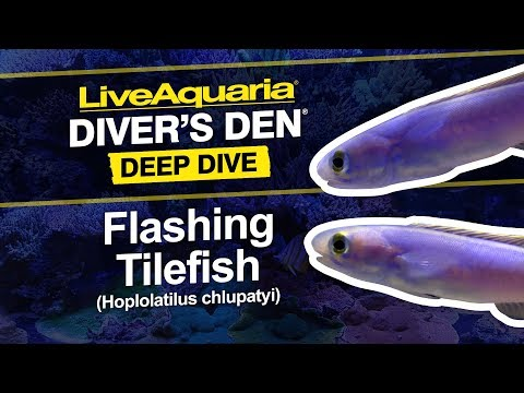 LiveAquaria® Diver's Den® Deep Dive: Flashing Tilefish (Hoplolatilus Chlupatyi)