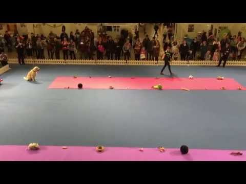 Soni, 'the' golden retriever obedience one more time (Helsinki Winner)