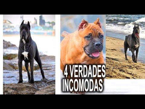 4 VERDADES INCOMODAS QUE NO SABES - PERRO CANE CORSO