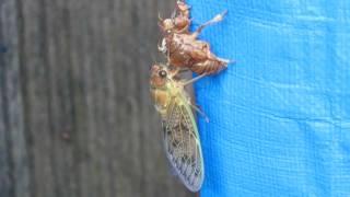 羽化をし始めたセミの幼虫? を見つけたので動画モードで撮影しました。...