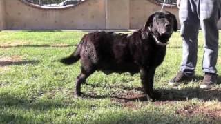 Www.susanalabradors.com Afro Black Labrador Retriever