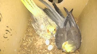 Cockatiel adult breeding pair sales in theni # wonderpets