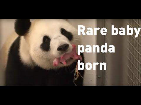 Rare baby giant panda born in Belgium