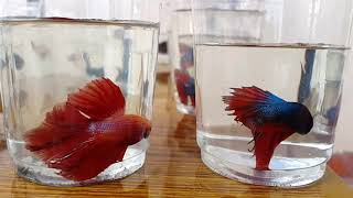 Imported Halfmoon & Over halfmoon betta fish sale in Pondicherry