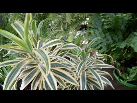 Dracena (Dracena reflexa) plantando em vaso pequeno + adubação de cobertura + dica !!!