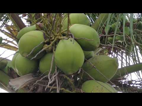 AWESOME VILLAGE Dwarf Coconut Tree  | Amazing Natural Dwarf Coconut Youtube Video