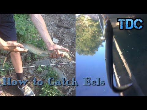 How To Catch American Eels - Step By Step