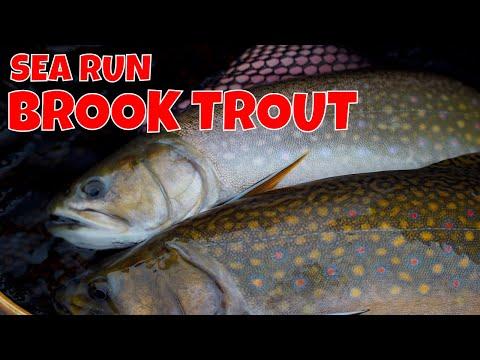 Sea Run Brook Trout | Nanuk Polar Lodge