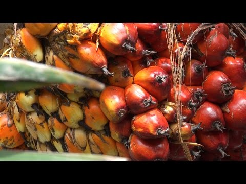 எண்ணெய் பனை சாகுபடி - Oil Palm Cultivation - Planting to Harvest