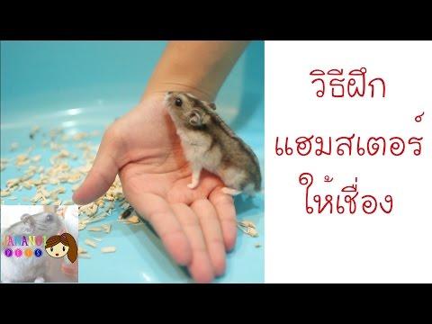 แนะนำวิธีฝึกแฮมสเตอร์ให้เชื่อง 2  | Jananoi Pets