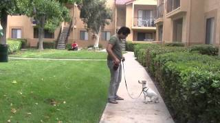 Jack Russell Terrier: Dog Training For Dogs That Bark On Leash, Reactivity