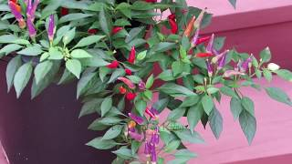Ornamental Peppers - Ớt Cảnh - Part II-2018