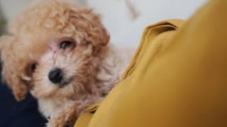 Domo The Teddy Bear Puppy