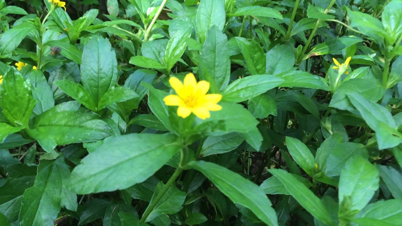 Types Yellow Flower Growing In Empt Land In Kerala Youtube