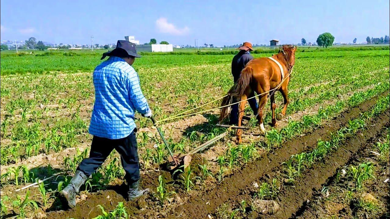 Escardando La Milpa Con Arado Tradicional Y Caballo (Yegua) | Boe Tonatiuh