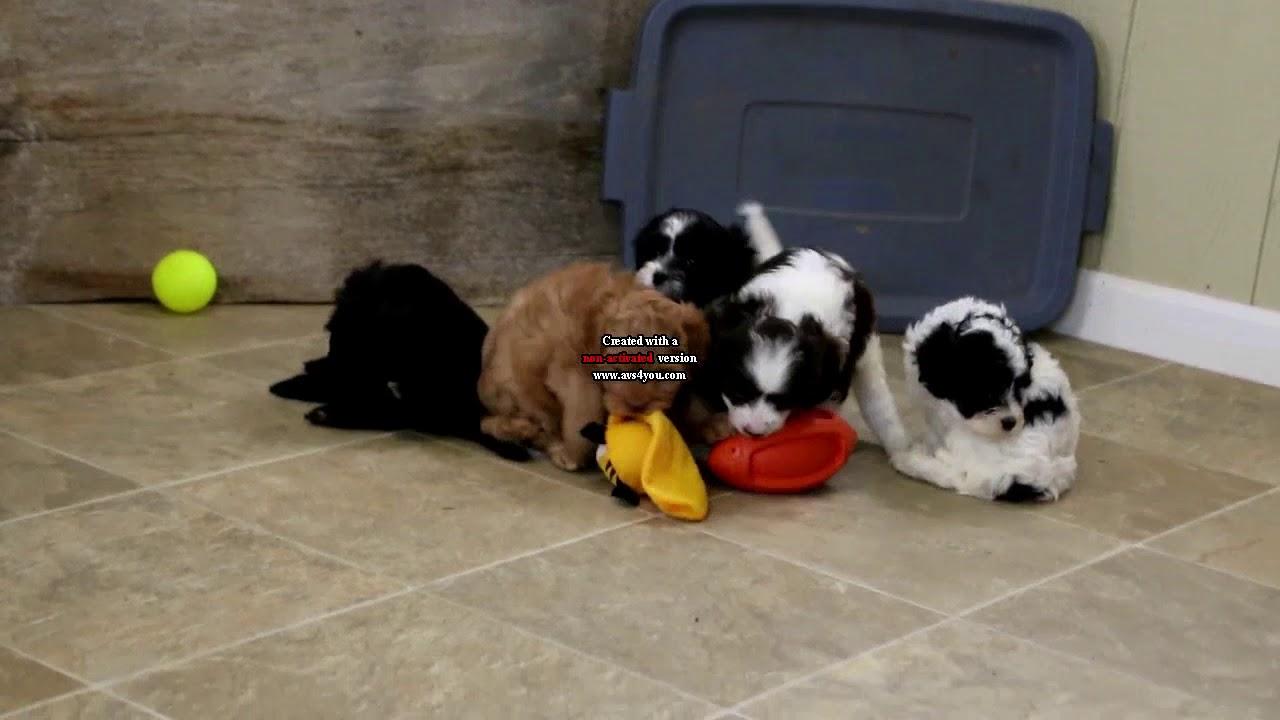 Havanese Mix Puppies For Sale Matthew Alan Stoltzfus