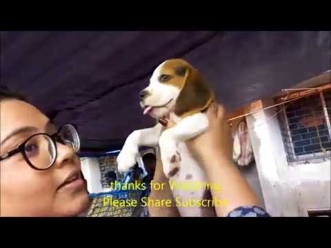 Cute Energetic Beagle Puppy For Sale At Galiff Street Kolkata