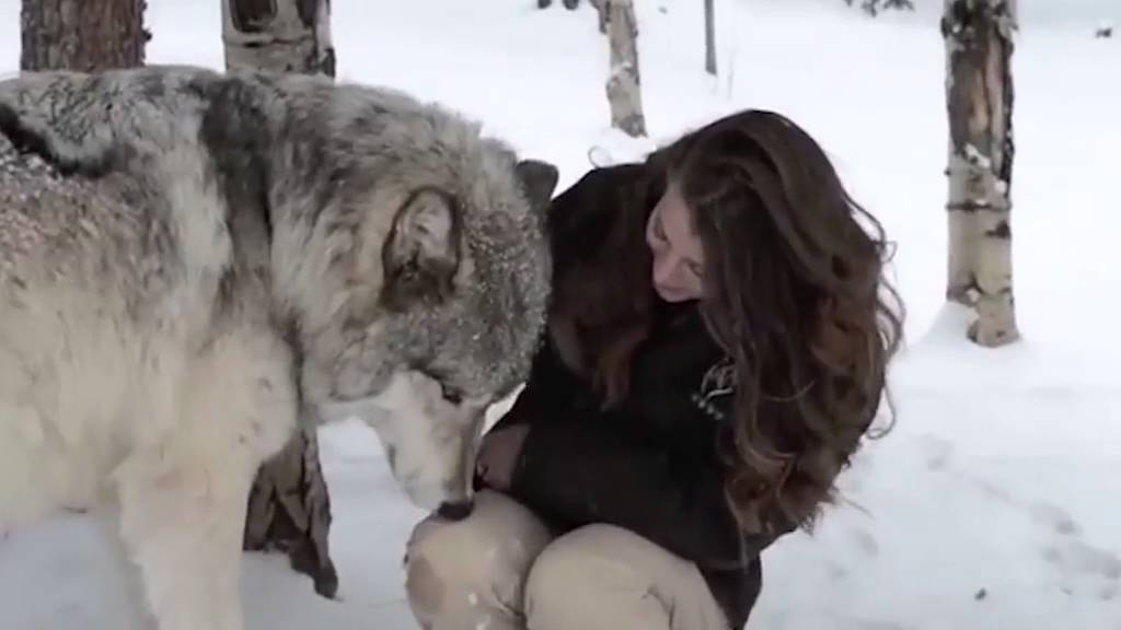 The heartwarming moment Kekoa the giant timber wolf plays ...
